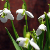 And she brought me Snowdrops