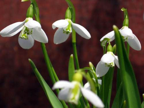 And she brought me snowdrops Christine Miller